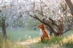 Retriever διοδίων παπιών της Νέας Σκοτίας σκυλιών σε έναν οπωρώνα της Apple Στοκ φωτογραφίες με δικαίωμα ελεύθερης χρήσης