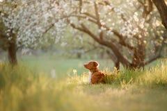 Retriever διοδίων παπιών της Νέας Σκοτίας σκυλιών σε έναν οπωρώνα της Apple Στοκ Φωτογραφία