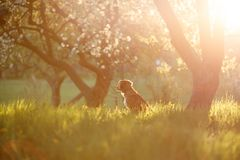 Retriever διοδίων παπιών της Νέας Σκοτίας σκυλιών σε έναν οπωρώνα της Apple Στοκ Φωτογραφίες