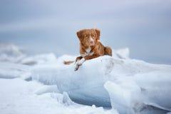 Retriever διοδίων παπιών της Νέας Σκοτίας βρίσκεται σε έναν επιπλέον πάγο πάγου Στοκ εικόνες με δικαίωμα ελεύθερης χρήσης
