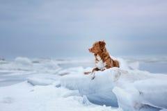 Retriever διοδίων παπιών της Νέας Σκοτίας βρίσκεται σε έναν επιπλέον πάγο πάγου Στοκ εικόνα με δικαίωμα ελεύθερης χρήσης