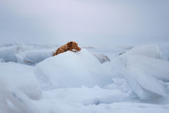 Retriever διοδίων παπιών της Νέας Σκοτίας βρίσκεται σε έναν επιπλέον πάγο πάγου Στοκ Εικόνα