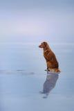 Retriever διοδίων παπιών της Νέας Σκοτίας κάθεται στον πάγο Στοκ Φωτογραφία