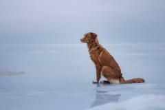 Retriever διοδίων παπιών της Νέας Σκοτίας κάθεται στον πάγο Στοκ Εικόνες