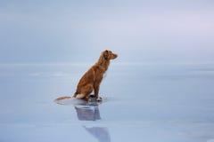 Retriever διοδίων παπιών της Νέας Σκοτίας κάθεται στον πάγο Στοκ φωτογραφία με δικαίωμα ελεύθερης χρήσης