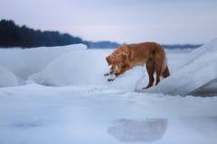 Retriever διοδίων παπιών της Νέας Σκοτίας κάθεται στον πάγο Στοκ Φωτογραφίες