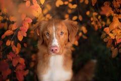 Retriever διοδίων παπιών της Νέας Σκοτίας σκυλί υπαίθρια το φθινόπωρο Στοκ φωτογραφία με δικαίωμα ελεύθερης χρήσης