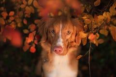 Retriever διοδίων παπιών της Νέας Σκοτίας σκυλί υπαίθρια το φθινόπωρο Στοκ Εικόνα