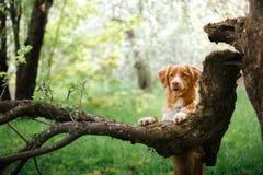 Retriever διοδίων παπιών της Νέας Σκοτίας σκυλιών που περπατά στο θερινό πάρκο στοκ εικόνες