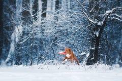 Retriever διοδίων παπιών της Νέας Σκοτίας σκυλιών που περπατά στο χειμερινό πάρκο, που παίζει με το πετώντας πιατάκι Στοκ Εικόνες