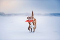 Retriever διοδίων παπιών της Νέας Σκοτίας σκυλιών που περπατά στο χειμερινό πάρκο, που παίζει με το πετώντας πιατάκι Στοκ εικόνες με δικαίωμα ελεύθερης χρήσης