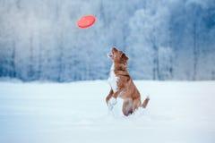 Retriever διοδίων παπιών της Νέας Σκοτίας σκυλιών που περπατά στο χειμερινό πάρκο, που παίζει με το πετώντας πιατάκι Στοκ φωτογραφίες με δικαίωμα ελεύθερης χρήσης