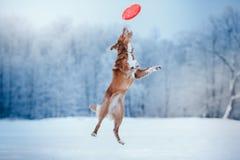 Retriever διοδίων παπιών της Νέας Σκοτίας σκυλιών που περπατά στο χειμερινό πάρκο, που παίζει με το πετώντας πιατάκι Στοκ Φωτογραφίες