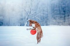 Retriever διοδίων παπιών της Νέας Σκοτίας σκυλιών που περπατά στο χειμερινό πάρκο, που παίζει με το πετώντας πιατάκι Στοκ Φωτογραφία