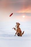 Retriever διοδίων παπιών της Νέας Σκοτίας σκυλιών που περπατά στο χειμερινό πάρκο, που παίζει με το πετώντας πιατάκι Στοκ εικόνα με δικαίωμα ελεύθερης χρήσης