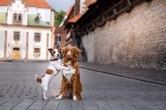 Retriever διοδίων παπιών της Νέας Σκοτίας τεριέ και σκυλιών του Jack Russell σκυλιών περπάτημα Στοκ Εικόνα