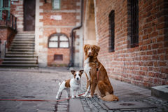 Retriever διοδίων παπιών της Νέας Σκοτίας τεριέ και σκυλιών του Jack Russell σκυλιών περπάτημα Στοκ εικόνα με δικαίωμα ελεύθερης χρήσης