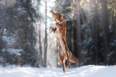 Retriever διοδίων παπιών της Νέας Σκοτίας υψηλό άλμα σκυλιών φυλής υπαίθρια Στοκ Φωτογραφία