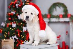 Retriever κουτάβι κοντά στο χριστουγεννιάτικο δέντρο Στοκ εικόνα με δικαίωμα ελεύθερης χρήσης