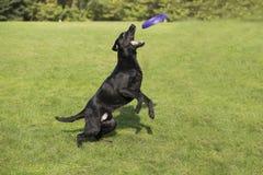 retriever κουταβιών του Λαμπραντόρ σκυλιών ανασκόπησης γκρίζα οπίσθια όψη στοκ φωτογραφία