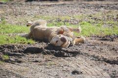 retriever κουταβιών του Λαμπραντόρ σκυλιών ανασκόπησης γκρίζα οπίσθια όψη Στοκ εικόνα με δικαίωμα ελεύθερης χρήσης
