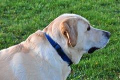 retriever κουταβιών του Λαμπραντόρ σκυλιών ανασκόπησης γκρίζα οπίσθια όψη Στοκ εικόνες με δικαίωμα ελεύθερης χρήσης