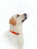 retriever κουταβιών του Λαμπραντόρ σκυλιών ανασκόπησης γκρίζα οπίσθια όψη Στοκ Φωτογραφίες