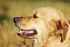 retriever πορτρέτου του Λαμπραντόρ σκυλιών Στοκ Εικόνες