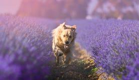 Retriever του Λαμπραντόρ καθαρή φυλή σκυλιών Στοκ εικόνα με δικαίωμα ελεύθερης χρήσης