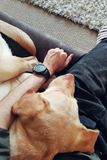 Retriever του Λαμπραντόρ κοιμάται στο άτομο στοκ φωτογραφία με δικαίωμα ελεύθερης χρήσης