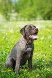 Retriever του Λαμπραντόρ κουταβιών μαύρο σκυλί Στοκ Εικόνες