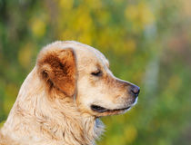 Retriever του Λαμπραντόρ πορτρέτο σκυλιών Στοκ Εικόνες