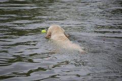 Retriever του Λαμπραντόρ που προσκομίζει μια σφαίρα αντισφαίρισης από μια λίμνη Στοκ Εικόνα