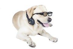 Retriever του Λαμπραντόρ που φορά τα γυαλιά και τα ακουστικά Στοκ Εικόνες