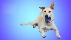 Retriever του Λαμπραντόρ σκυλί που κρατά την μπλε σφαίρα απομονωμένη Στοκ Φωτογραφία