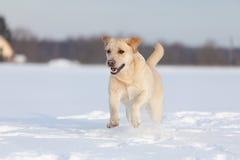 Retriever του Λαμπραντόρ σκυλιά Στοκ Εικόνες