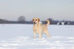 Retriever του Λαμπραντόρ σκυλιά Στοκ εικόνες με δικαίωμα ελεύθερης χρήσης