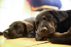 2 Retriever του Λαμπραντόρ ύπνος κουταβιών πλήρως στοκ φωτογραφίες