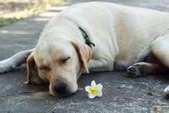 Retriever του Λαμπραντόρ ύπνος με ένα άσπρο λουλούδι που βάζει στο Si Στοκ Εικόνα