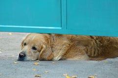Retriever φυλής σκυλιών Βρίσκεται κάτω από τις πύλες μετάλλων στοκ φωτογραφία με δικαίωμα ελεύθερης χρήσης