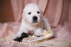 Retriever бежевого щенка золотой Стоковая Фотография