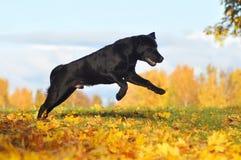 Retriever Лабрадора в осени Стоковые Фото