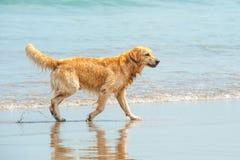 Retriever Лабрадора играя на пляже Стоковое Изображение