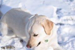 Retriever Лабрадора на снеге Стоковое Фото