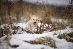 Retriever Лабрадора, друг, милый, утеха, точность воспроизведения, зима, снег Стоковые Фотографии RF