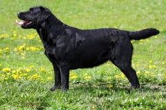 Retriever Лабрадора черной собаки стоя в положении выставки в th Стоковые Фото