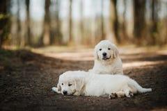 Retriever маленьких puppys золотой Стоковое Фото