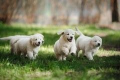 Retriever маленьких puppys золотой Стоковое фото RF