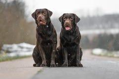 Retriever 2 милый молодой коричневый labrador выслеживает щенят сидя совместно на конкретный усмехаться улицы Стоковое Изображение RF