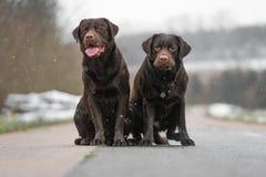 Retriever 2 милый молодой коричневый labrador выслеживает щенят сидя совместно на конкретный усмехаться улицы Стоковое Изображение